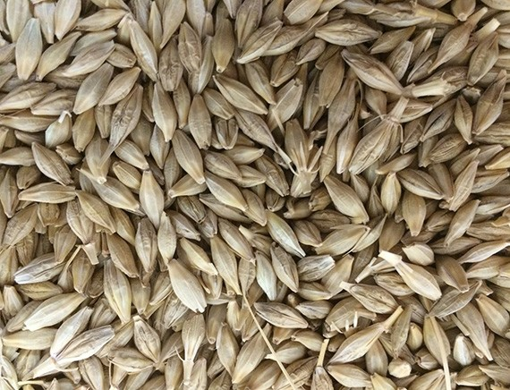 Barley Seeds Manufacturers