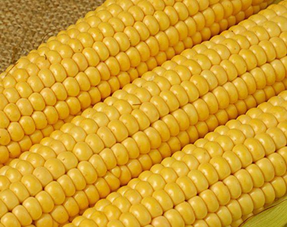 buy-yellow-corn-online